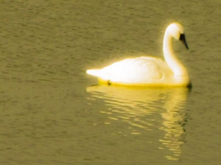 cropped-swan.jpg